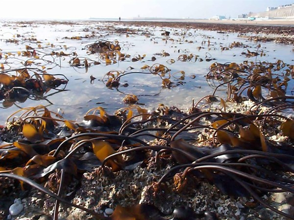 Brown seaweeds Ramsgate